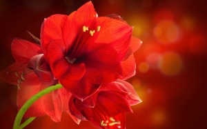 Красный амариллис