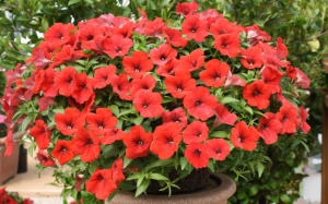 Красные цветы петунии