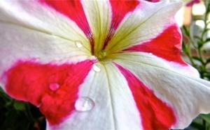 Бело-красная петуния
