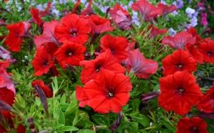 Красная петуния