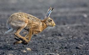 Бегущий заяц
