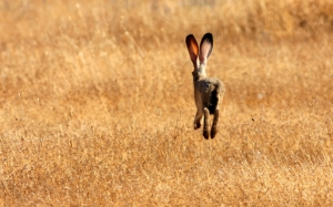 Ушастый заяц