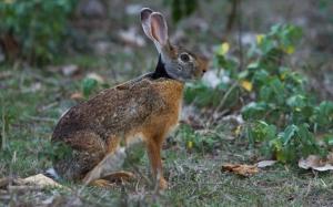 Настороженный заяц