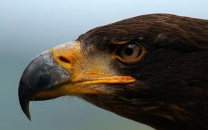 Клюв орла