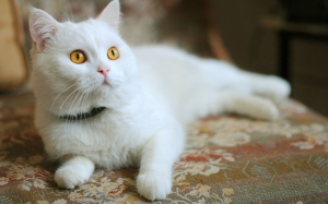 Белая кошка