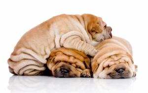 Милые щенки шарпея