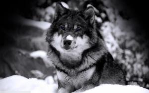 Черно-белый волк с голубыми глазами